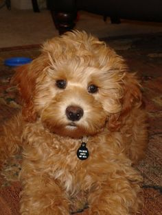 I would love to have one of these as my next dog. Labradoodles are super adoreable! Although would prefer a goldendoodle but still what a cutie!