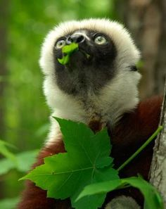 Aww, the Lemur from Zoboomafoo died. :(  (Photo courtesy Duke Lemur Center)