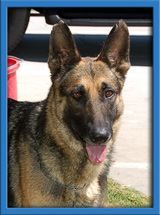 Gypsy is an adoptable German Shepherd Dog in Irvine, CA. Gypsy is the epitome of a German Shepherd Dog!  Gypsy is also gorgeous! She is house broken, has had obedience training and longs to learn.  Visit www.coastalgsr.org for more info!