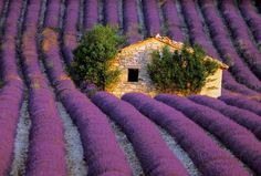 "Lavender is a big deal in Provence. In fact, lavender has even been described as the ""soul"" of Provence. Oh The Places You'll Go, Places To Travel, Places To Visit, French Lavender Fields, Lavender Fields France, Lavender Cottage, Beautiful World, Beautiful Places, Valensole"