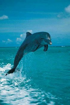 Different species of dolphins have varied jumping abilities, with the Pacific white-sided dolphin probably getting the grand prize for height. Underwater Creatures, Ocean Creatures, Water Animals, Animals And Pets, Beautiful Creatures, Animals Beautiful, Bottlenose Dolphin, Wale, Delphine