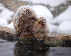 Snow monkeys at Jigokudani sanctuary by Kiyoshi Ookawa