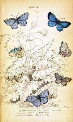 Vintage Butterfly Illustration a decoupage print Butterfly Images, Vintage Butterfly, Blue Butterfly, Butterfly Background, Butterfly Dragon, Monarch Butterfly, Background Images, Vintage Ephemera, Vintage Paper