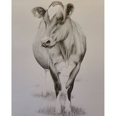 Cow art. Pencil drawing by Rebecca Simmonds, 26 x 36 cm. see Rebecca Simmonds Art on facebook