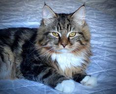 Adonis Aurora Glow Siberian Cat, Masquerade, Aurora, Glow, Cats, Animals, Gatos, Animales, Animaux