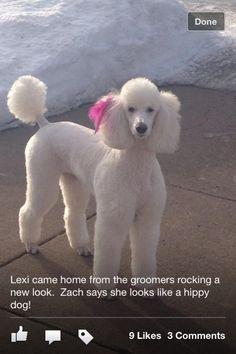 newborn poodles pictures | Lexi's new look - Poodle Forum - Standard Poodle, Toy Poodle ...