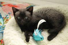 Bruce the cat - week nine. #Brucethecat #cat #kitten www.brucethecat.co.nz, facebook.com/brucethekitten