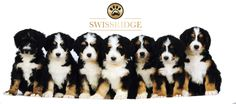 Beautiful Bernedoodle litter from Swissridge kennels