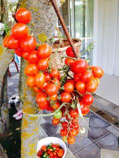 Organik domatesler