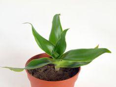 Kalisie vonná nebo též voňavá je považována za téměř zázračnou rostlinu. Mohou za to její mimořádné léčivé… Pesto, Plants, House Plants, Floral, Ideas, Homes, Plant, Planting, Planets