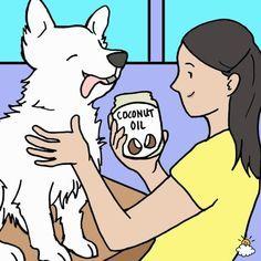 I love My Dog; Natural Pet Health,: Rub coconut oil onto your dog's coat 2 x per week Kill Fleas On Dogs, Dog Flea Remedies, Ticks Remedies, Coconut Oil For Fleas, Oils For Dogs, Benefits Of Coconut Oil, Healthy Pets, Dog Coats