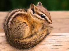 Chipmunk Picture (get rid of chipmunks) Animals And Pets, Baby Animals, Cute Animals, Lovely Creatures, Woodland Creatures, Get Rid Of Chipmunks, Baby Chipmunk, Chipmunk Trap, Most Beautiful Animals