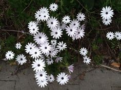White daisies in spring, gourgeous