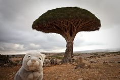Travel Bunny is back from his most exotic destination yet - Socotra Island, off the coast of the Arabic Peninsula and near Somalia.    It's a mystical place full of the most wonderful landscapes and people - and yet, not a carrot in sight!    Travel Bunn cheaper travel ever  www.muchways.com