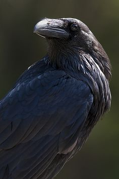 Raven 1 | A raven | By: Dan Newcomb Photography | Flickr - Photo Sharing!