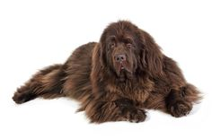 Talk about a big dog, eh? Boasting a love of water, children and people in general, the Newfoundland dog is one of the cuddliest things to come out of Canada. This breed is a lot of things: calm, sweet, patient, amiable, gentle, mellow, loyal, and affectionate, which make it a great pet the whole family will fall in love with.