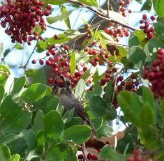 California thrasher bird eating Toyon, Heteromeles arbutifolia, red berries