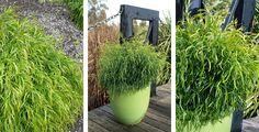 Plants Management Australia - Acacia 'Fettuccini'