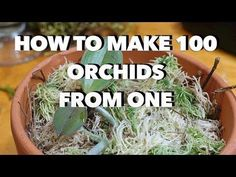 Easy Orchid Care: Repotting a Phalaenopsis with Rotten Roots / Steps to save an . - Easy Orchid Care: Repotting a Phalaenopsis with Rotten Roots / Steps to save an Orchid with no root - Indoor Orchids, Orchids Garden, Orchid Plants, Air Plants, Garden Plants, House Plants, Vanda Orchids, Flowers Garden, Orchid Plant Care
