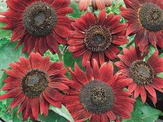 Items similar to Sunflower, Velvet Queen Sunflower Seeds - Lovely Intense Burgundy Petals Chocolate Center on Etsy Full Sun Annuals, Full Sun Plants, Home Garden Plants, Garden Soil, Planting Seeds, Planting Flowers, Red Sunflowers, La Colors, Tall Plants