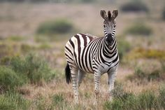 Plains Zebra (Equus quagga) by dirkr on Creative Market