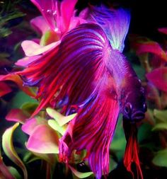 Look at this beautiful Betta Fish in the colors that look like Blue Feusha and purple! i would recommend getting a Betta for a starting fish