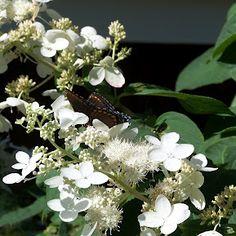 Monarch butterfly on hydrangea.
