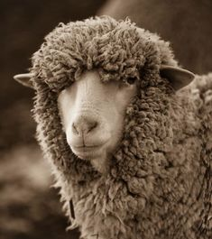 Catskill Merino Sheep Farm: so this is where my wonderful Merino wool comes from