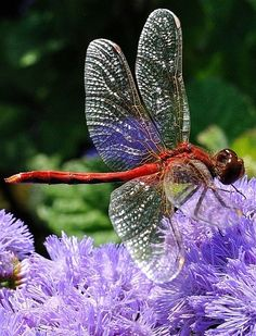 Another Red Dragonfly by Sheldon Emberly on Flickr Found on flickr.com