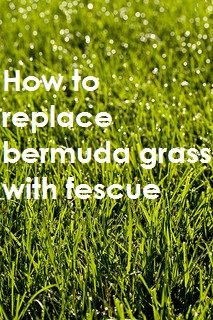 Bermuda grass can be quite the weed when it grows where you don't want it. Here's how you can replace it with fescue grass. #lawncare