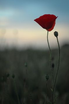 """themedicalchronicles: """"""""In Flanders fields the poppies blow Between the crosses, row on row, That mark our place; and in the sky The larks, still bravely singing, fly Scarce heard amid the guns..."""