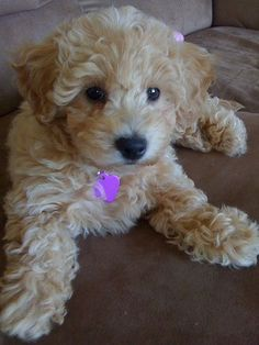 Bichon Poo (Bichon-Poodle mix) Info, Puppies, Pictures, Temperament