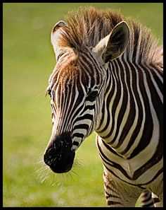 cute baby zebra pictures - Google Search