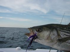 Striped Bass Fishing - Striper Fishing Tips and Techniques Bass Fishing Tips, Surf Fishing, Fishing Basics, Fishing In Canada, Australian Bass, Bait Caster, Spinner Bait, Bass Boat, Largemouth Bass