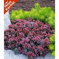 Sedum Sun Sparkler® 'Sedoro Blue Elf', 2 Pflanzen - BALDUR-Garten GmbH