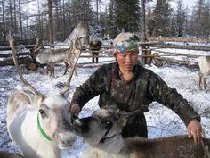 A Tsaatan [Dukha] woman ties down two reindeer in a fenced-off area. To protect them from wolves, the Tsaatan usually tie down their reindeer to notched stakes or round them up in [corrals] at night. During the day they are released into the mountains to browse for fresh leaves, lichen and mushrooms in the summer and lichen buried under the snow in winter.