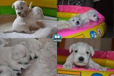 Si es que más adorables no pueden ser... http://www.petclic.es/las-mascotas/cachorros/comportamiento-del-cachorro-trucos-basicos-salimos-a-la-calle-por-primera-vez