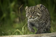 Fishing Cat by Colin Langford on 500px