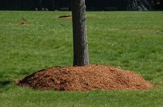 Using mulch around trees can be beneficial, as long as you keep it away from the trunks of your gentle giants. Avoid the dreaded mulch volcano!