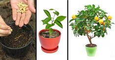 Jaké stromy lze doma vypěstovat ze semínka a užívat si čerstvě utržené ovoce?