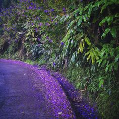 Purple Flower Road heading to the Paradise !  #purple #road #flowers #france #amazing #beautiful  #reunionisland #summertime #974 #paradise #travel #instatravel #mytravelgram #instapassport #lareunion #gotoreunion #island #amazing #beautiful #lareunion #gotoreunion #island #travelgirl #travel #reunionisland #iledelareunion #team974 #weare974 #lareunionlela #vanillaislands #reunionparadis by ornellajoy