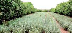 La filière souffre de la culture sauvage des herboristes. Une cartographie nationale des ressources sera établie. Un système de certification et de labellisation sera instauré.