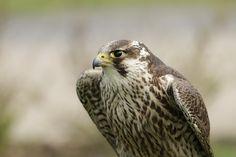 https://flic.kr/p/JDbQFW | Falcon #bird #birdofprey #falcon #faucon #animalcontact