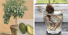 Stop Buying Avocados! You Can Grow Them In A Small Pot At Home! Here's How!
