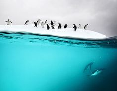 Awkward on land - graceful under water: the Antarctic Penguin in it's environment