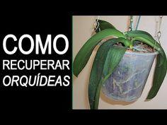 COMO RECUPERAR UMA ORQUÍDEA DESIDRATADA E QUASE MORTA - Como Cuidar de Orquídeas - YouTube Orchid Plant Care, Orchid Plants, Orchids, Incredible Edibles, Orchidaceae, Bonsai, Christmas Diy, Gardening, Orchids In Water