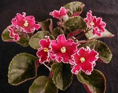 "African Violet ""Cherries and Cream"""