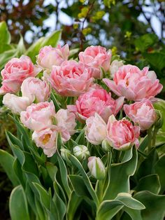 Tulipa 'Annelinde',Tulip 'Annelinde', Double Late Tulip 'Annelinde', Double Late Tulips, Spring Bulbs, Spring Flowers, Pink Tulip, Double Late Tulip
