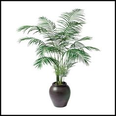 For The Bedroom Areca Palm Is A Natural Air Purifier And Humidifier Indoor Palms