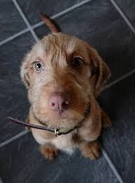 Image result for wirehaired vizsla
